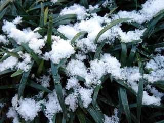 ジャノヒゲに積もった雪