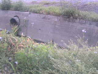 草に埋もれたヒガンバナ