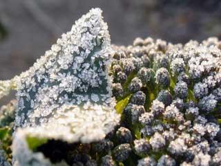 ブロッコリーと霜